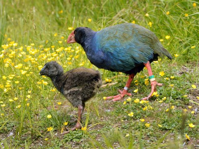 The takahe chick explores the Orokonui Ecosanctuary. PHOTO: STEPHEN JAQUIERY