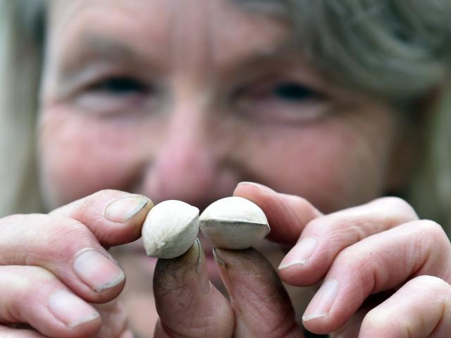 Dunedin Botanic Garden propagation service officer Alice Lloyd-Fitt with gingko tree seeds. Photo...