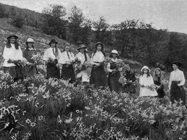 Members of the Lawrence Young Helpers' League gathering narcissi on the hillside at Messrs...