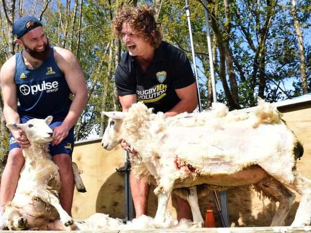Highlander Liam Coltman (left) and the Honey Badger, Nick Cummins,  clutch the sheep they...