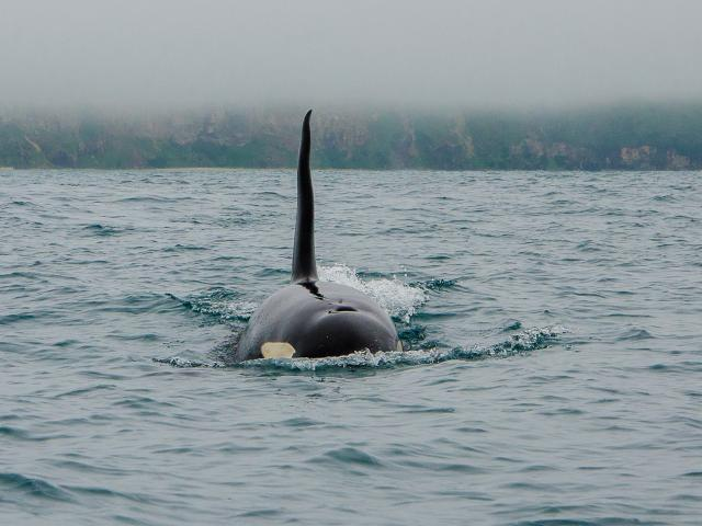 An orca heads towards the kayak of Chris McCormack in Otago Harbour on Saturday. PHOTOS: CHRIS...