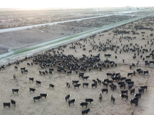 The Five Star Beef feedlot is the biggest in New Zealand. Photo: Supplied by SAFE via RNZ