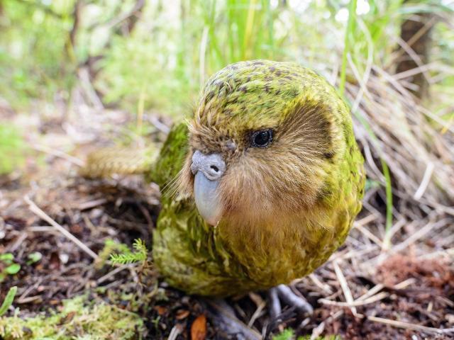 Official spokesbird for conservation and social media influencer, Sirocco. Photos: Jake Osborne