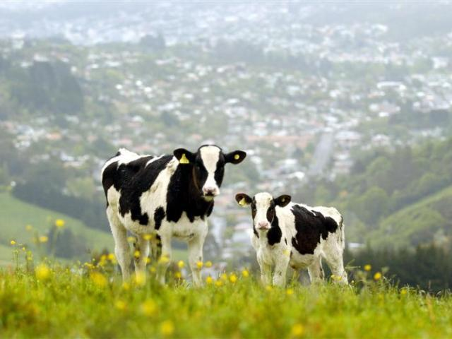 Two bobby calves graze pasture above Northeast Valley, Dunedin. Photo by Gerard O'Brien.