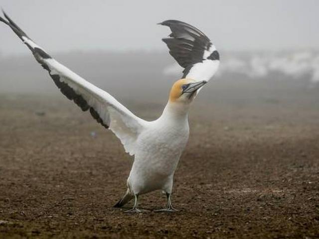 A male gannet puts on a stretching display hoping to attract a mate at Cape Kidnappers. Photo:...