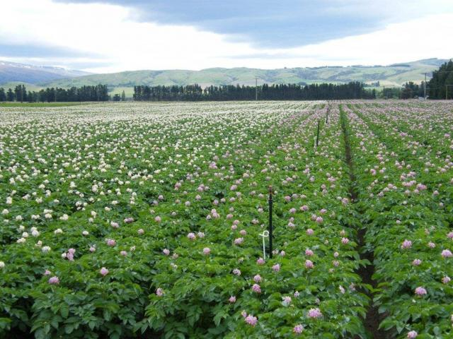 The potato mop-top virus (PMTV) was found in New Zealand in September. Photo: Allied Press Files
