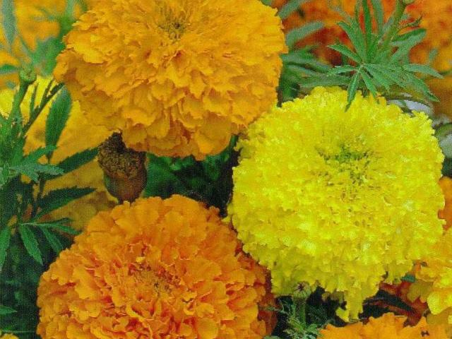 Marigolds sown under cover in August are now ready to transplant to the garden. Photo: Supplied