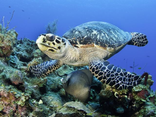 The Cayman Turtle Centre is home to green sea turtles. PHOTOS: TNS