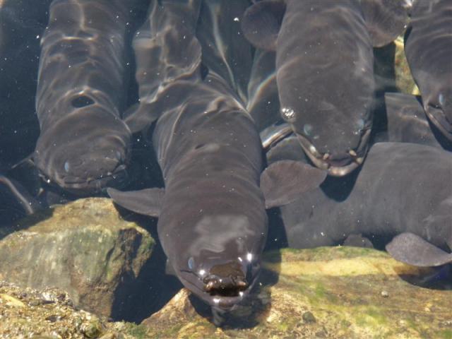 Longfin eels at a feeding spot near Takaka.