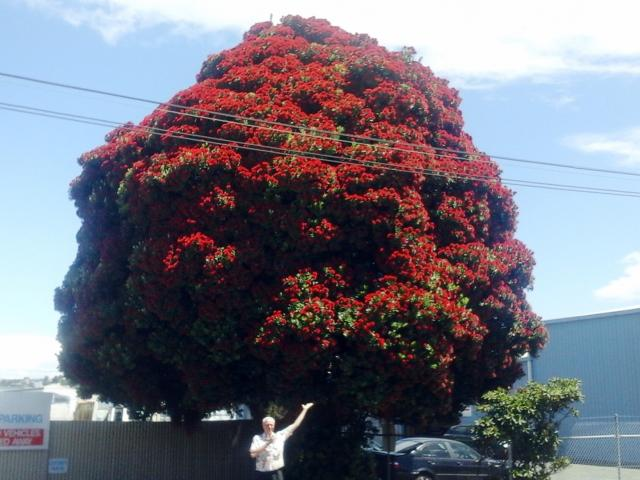 The lovely rounded pohutukawa in Glasgow St, South Dunedin; a glowing island of crimson for a...