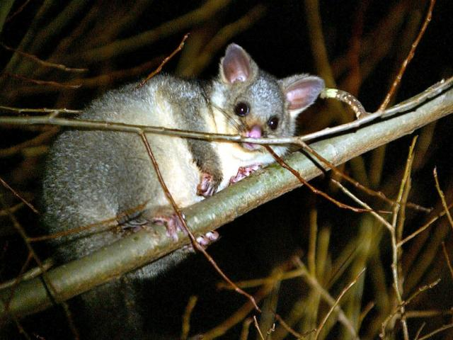 Animal rights activists are celebrating after a Waikato school cancelled its planned possum hunt....