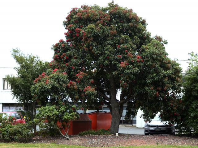 The beautiful Albany red gum in the car park of the CCA Dunedin Branch Office at 29 Portobello Rd...