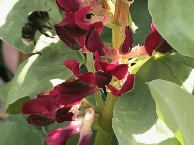 Red-flowered broad bean Hughey is a heritage form selected by Denis Hughes, of Tapanui.