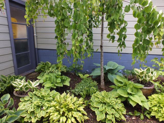 Hostas are tough, reliable plants for damp shade. Photos: Gillian Vine