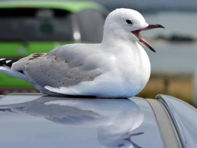 The red-billed gulls have caused trouble for Countdown Oamaru by nesting on the roof. PHOTO: ODT...