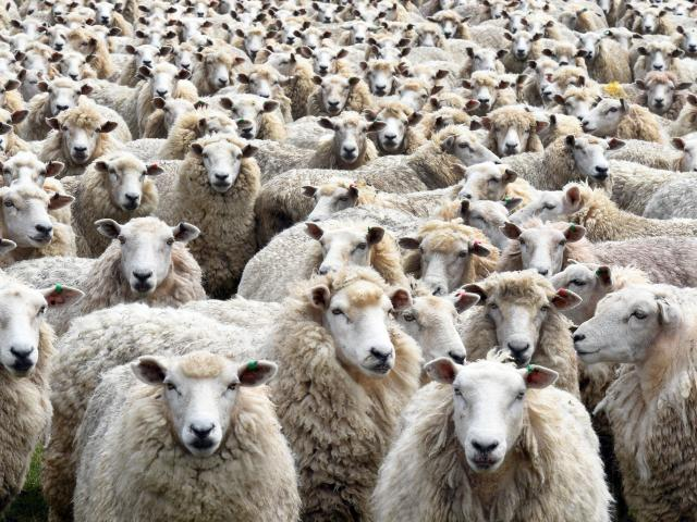 The crossbred wool price has been described as possibly being the lowest in real terms ever....