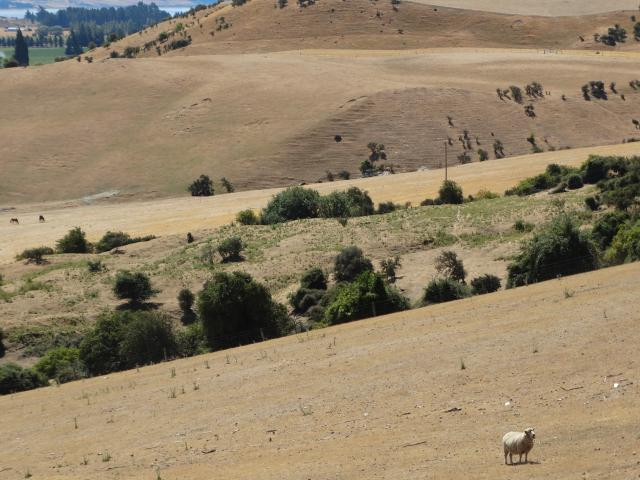 A sheep looks about for grazing on a parched paddock at Hawea Flat.PHOTO: SEAN NUGENT