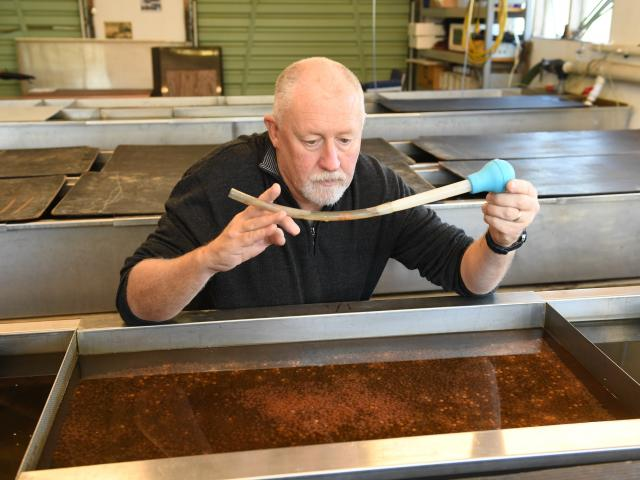 Dunedin Community Salmon Trust chairman Steve Bennett checks eggs which were fertilised before...