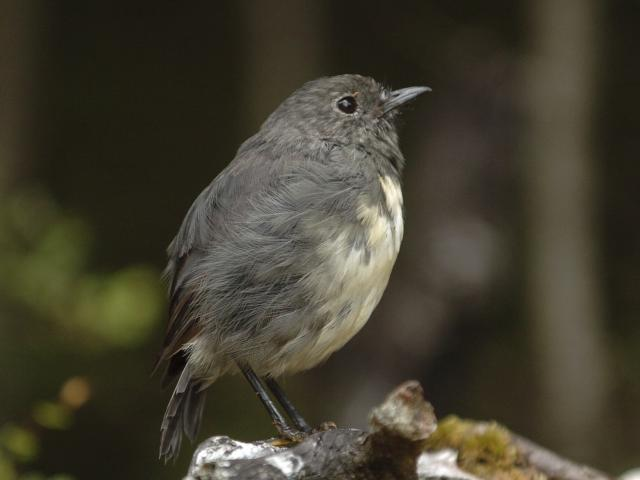 A South Island robin, one of which was recently spotted at Ross Creek. PHOTO: STEPHEN JAQUIERY