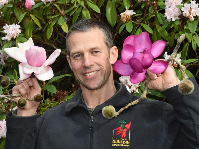 Dunedin Botanic Garden collections supervisor Dylan Norfield holds spectacular Magnolia...
