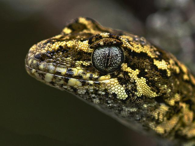 The rare Tautuku forest gecko is one of several notable species to be found in and near the Lenz...