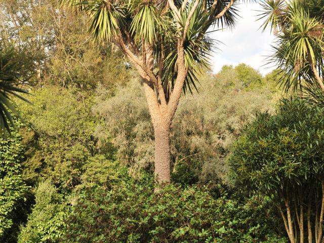 Cordyline australis. Photo: Christine O'Connor