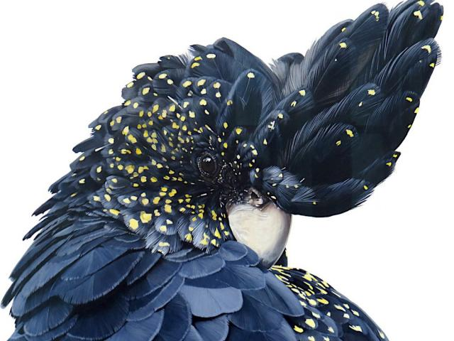 Black Cockatoo, by Laura Hardie