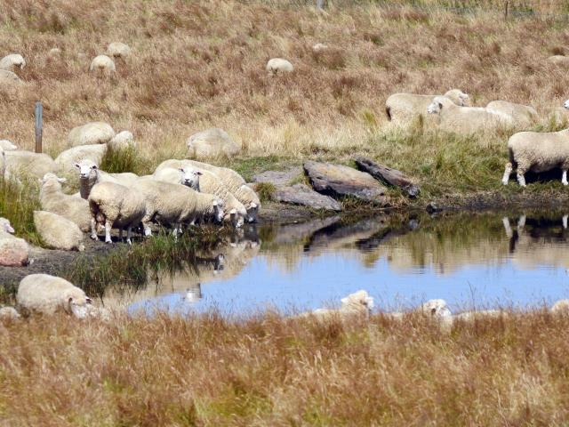 Record lamb prices are predicted again this season. PHOTO: GERARD O'BRIEN