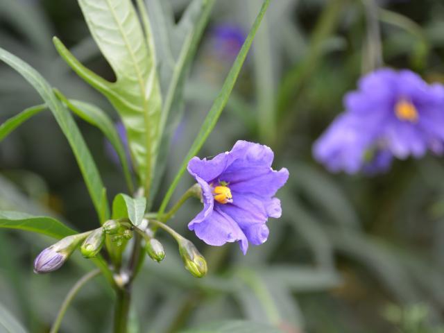 Poroporo (Solanum laciniatum). Photo: Peter Dowden