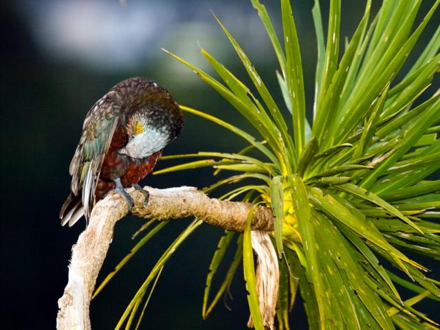 There are currently fewer than 50 kaka living in the Orokonui Eco Sanctuary. Photo: Dave Curtis