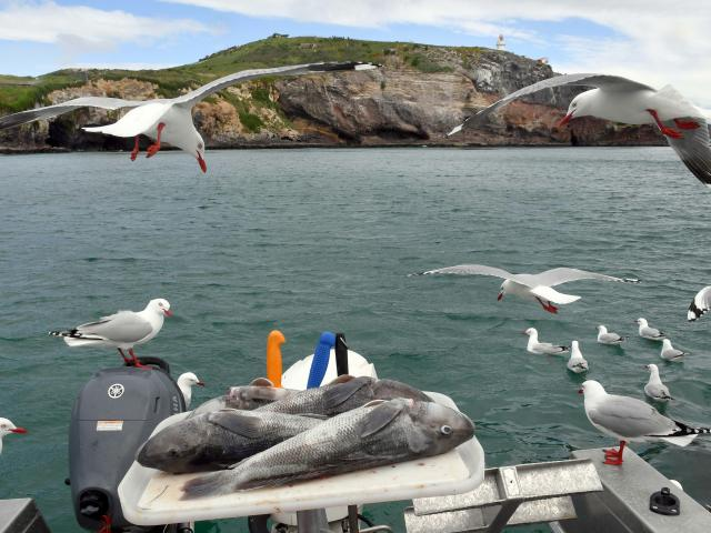 A recreational catch of blue cod and Taiaroa Head lighthouse behind. PHOTO: STEPHEN JAQUIERY
