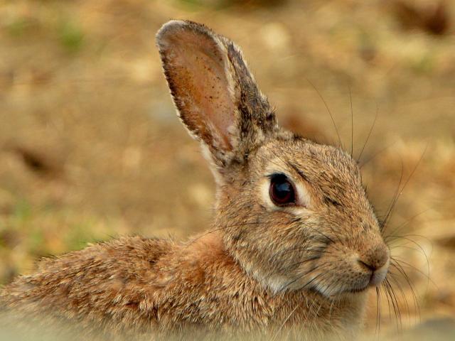 A Central Otago rabbit. PHOTO: STEPHEN JAQUIERY