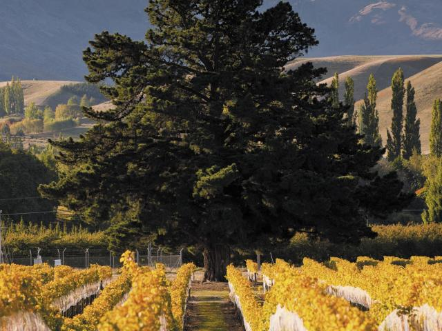 The Wooing Tree vineyard site. Photo: Supplied