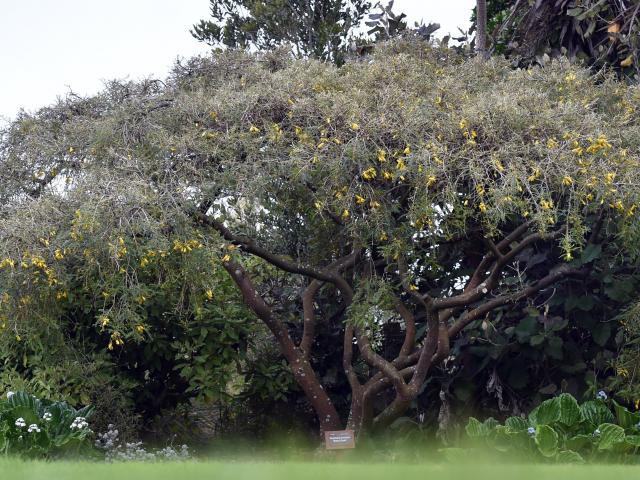 Sophora molloyi 'Early Gold' in the Dunedin Botanical Garden.PHOTO: PETER MCINTOSH