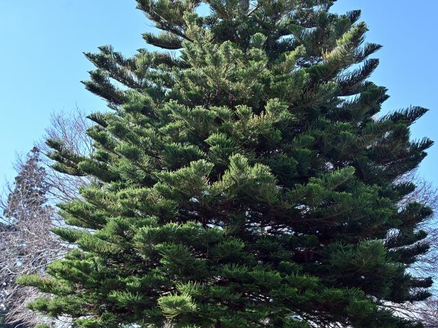 One of the finest Norfolk Island pines in Dunedin grows in the front garden of 519 Great King St...