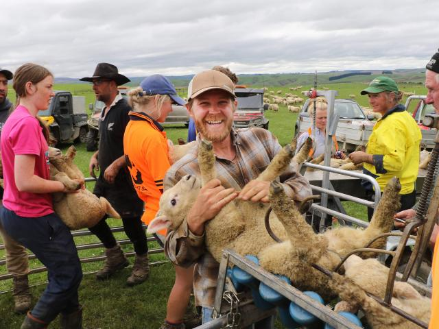 Former fishing boat skipper Cody Meares, of North Carolina, places another lamb into the chute...