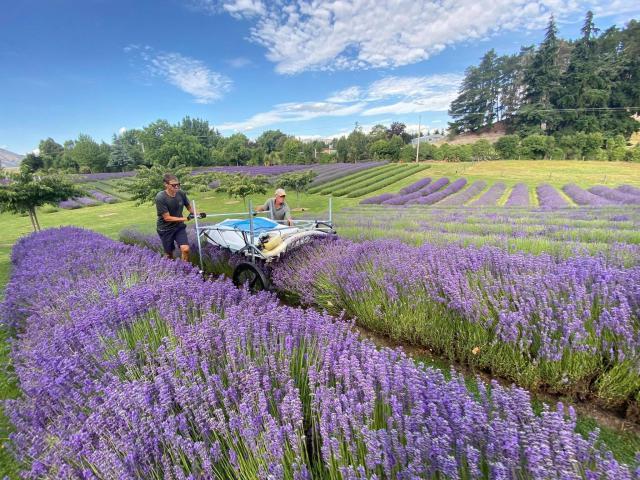 The 12ha Wanaka Lavender Farm is run as a commercial lavender farm, but is still very much a...