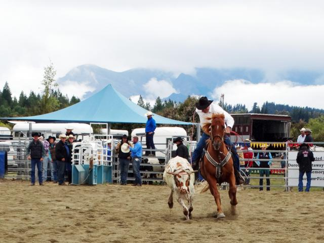 Pat McCarthy lassoes a steer during the team roping event at the Wanaka Rodeo on Saturday. PHOTO:...