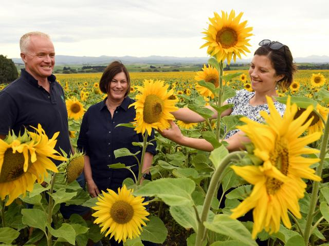 Pleased with the growth of their sunflowers are (from left) Rosedale farm owners Peter and Sandra...