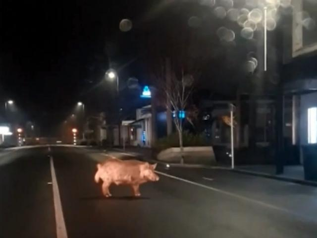 A wild pig was caught on camera roaming the streets of Balclutha this week. PHOTO: CARWYN MACAULAY