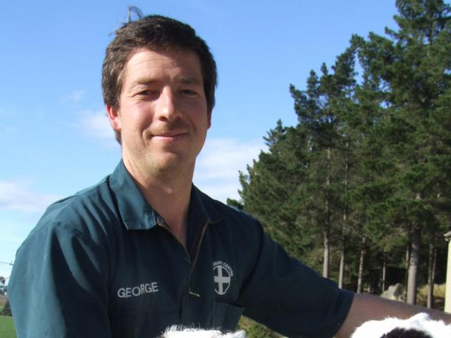 Oamaru veterinarian George Smith with a valuable heifer calf which he saved from near-death....