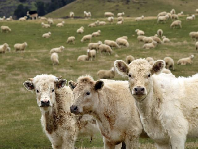 Otago and Southland have seen a lift in the number of beef cattle but a drop in the number of...
