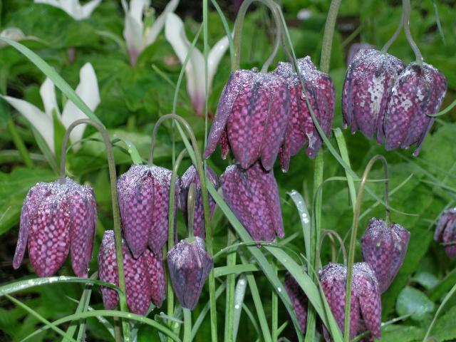 The pattern on snakeshead fritillaria blooms (F. meleagris) explains why it is sometimes called...