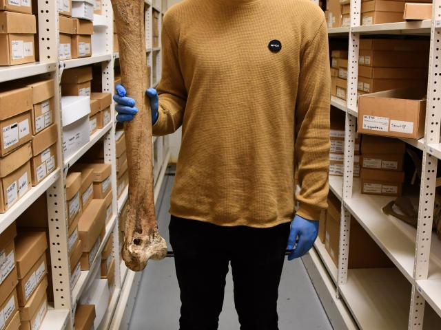 Otago Museum Natural Sciences assistant curator Kane Fleury holds a bone of a female South Island...