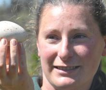 Orokonui Ecosanctuary head ranger Kelly Gough holds an unfertilised takahe egg yesterday.Photo by Craig Baxter.
