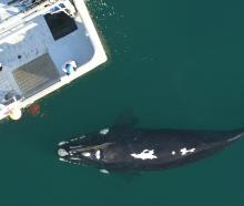 One of a group of southern right whales approaches Polaris II near the Auckland Islands.