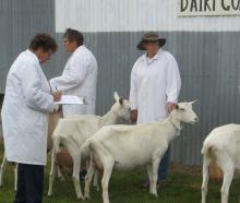 Dairy goat judge Lorraine Youngman inspects entries at the Methven show. Photos: Toni Williams