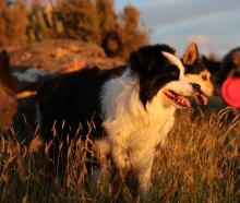 Bandit, Sika and Moose take a break from playing catch to enjoy the last of the sun on Mt Cargill...