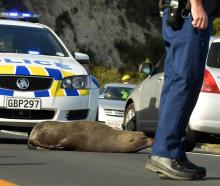 Dale, the town-dwelling fur seal that disrupted hundreds of motorists on the Andersons Bay...