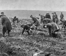 Seaforth Highlanders helping the French by picking potatoes. — Otago Witness, 14.2.1917.